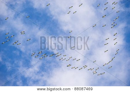 Flock Of Migrating American White Pelicans In The Sky