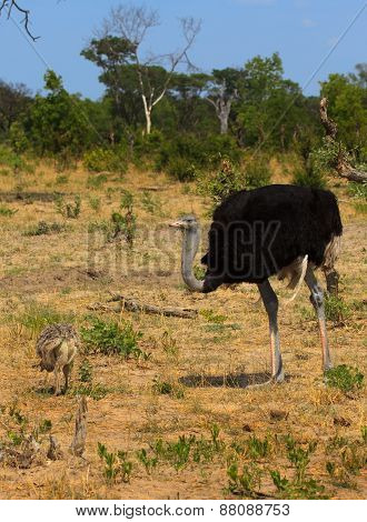Male Ostrich with chick
