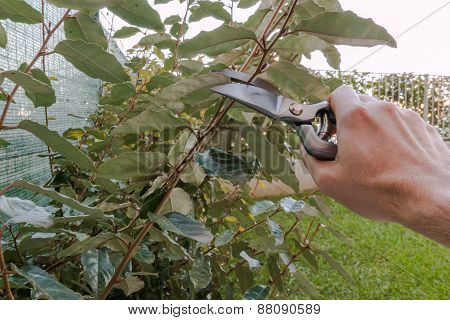 Pruning An Hedge In The Garden, Seasonal Garden Work