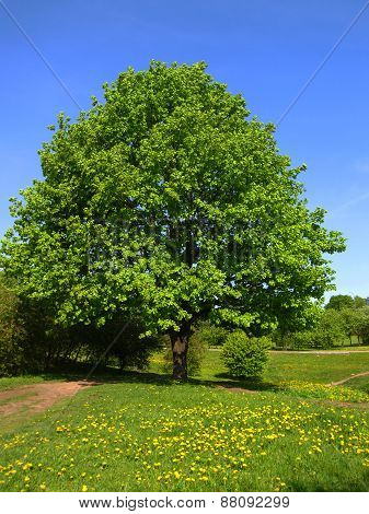 Tree On Meadow With Yellow Dandelions