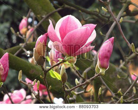 blooms of magnolia
