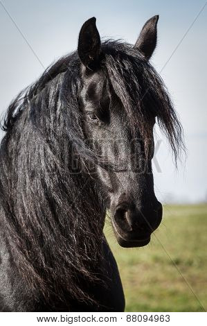 Portrait Beauty Friesian Horse