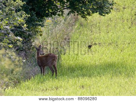 wild roe hiding in a field, Jura, France