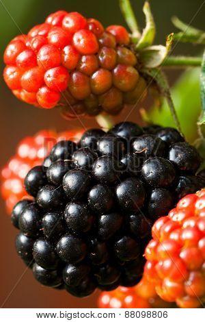Close-up Of Wild Blackberries