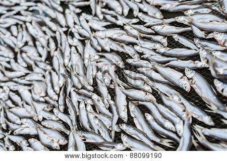 Dried Small Fish