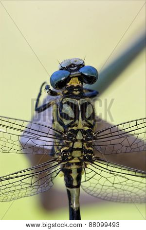Back Of Wild Black Yellow Dragonfly