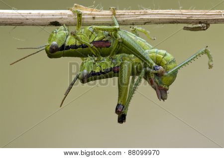 Close Up Of Two Grasshopper Orthopterous