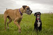 pic of great dane  - Great Dane and black dog in grassy field - JPG