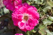 picture of rosa  - Pink rosa dumalis - JPG