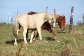 picture of stallion  - Two young stallions playing together on pasturage - JPG