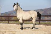 picture of stallion  - Amazing palomino welsh cob stallion with black hair in autumn - JPG