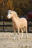 foto of stallion  - Amazing welsh mountain pony stallion standing in autumn - JPG