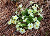 stock photo of primrose  - yellow primrose in full bloom in grass - JPG