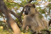 foto of canopy  - Yellow baboon  - JPG