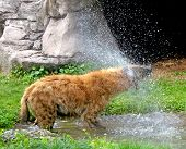 stock photo of hyenas  - A Hyena shaking off water from a puddle - JPG