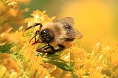 image of goldenrod  - Honey bee on a goldenrod flower looking for pollen - JPG