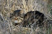 image of wildcat  - European Wildcat on field in spring - JPG