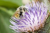 stock photo of bumble bee  - Honey bee gathering pollen on spiky purple thistle - JPG