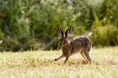 stock photo of hare  - wild hare running in a field - JPG