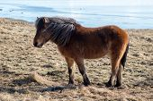 stock photo of iceland farm  - Close up view of an Icelandic pony  - JPG
