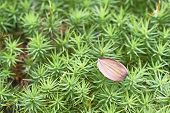 stock photo of beechnut  - View of one beechnuts lying on green moss - JPG