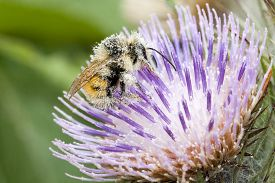 pic of gathering  - Honey bee gathering pollen on spiky purple thistle - JPG