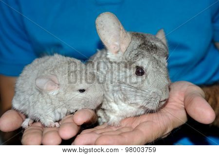 Closeup Mama and Baby beige Chinchilla