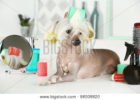 Portrait of Chinese Crested dog at barbershop
