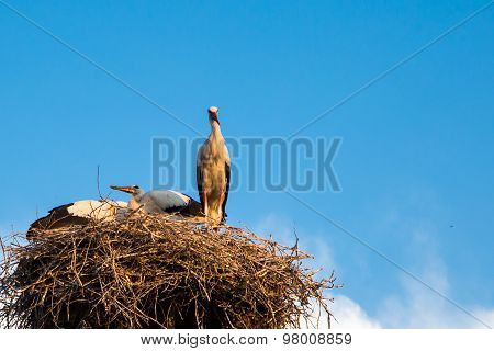 Blue Sky Backgrund With Young White Storks At The Nest