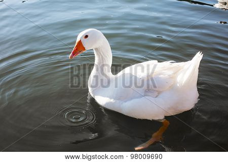 Close Up White Goose In The Lake