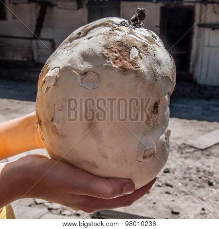 Giant Puffball Is Edible And Medicinal Mushroom