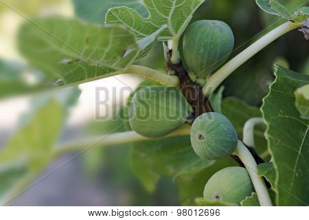 Immature Green Figs On The Tree