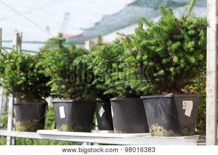 the Serbian spruce in pots