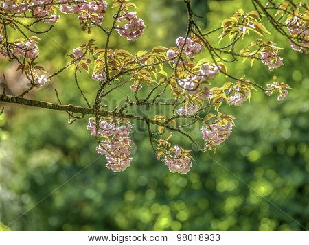 blossoming tree brunch with  on bokeh green background