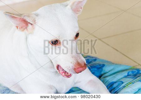 Portrait Of White Dog Sitting On Blue Mattress