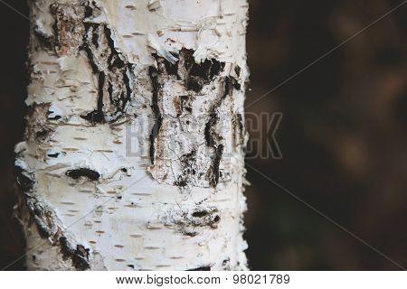 background with birch