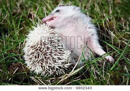 Grooming Hedgehog