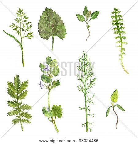 Set of watercolor drawing herbs and leaves