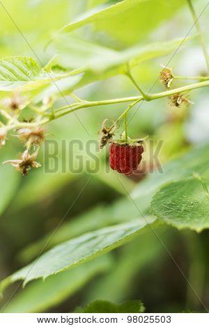 Raspberry Plant In Backyard