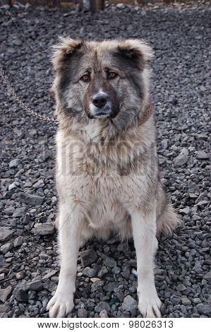 Caucasian shepherd guarding the yard