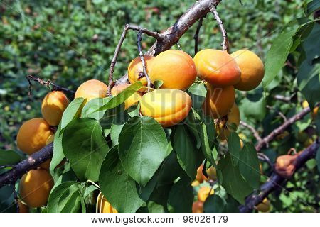 Ripe Apricots On A Tree Branch