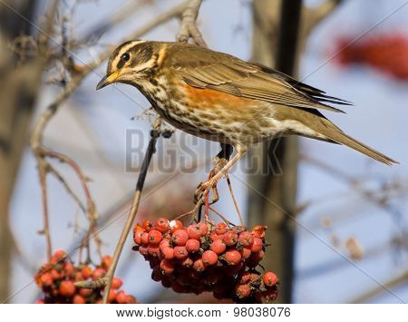 Redwing on the branch of mountain ash