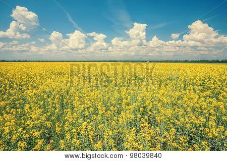 flower of oil rapeseed