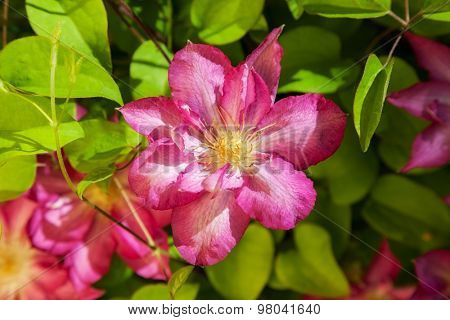 beautiful purple clematis in a natural environment. background