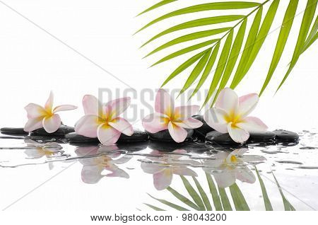 palm with wet zen stones and Frangipani