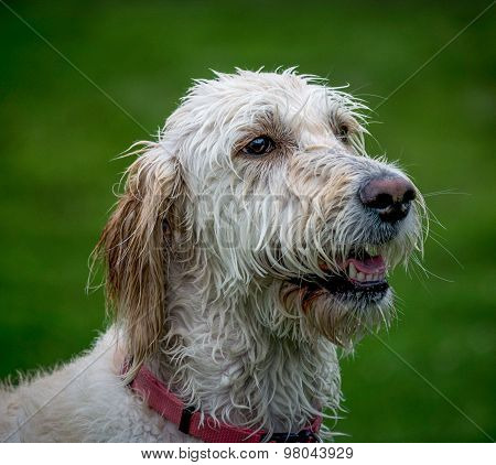 Wet Labradoodle