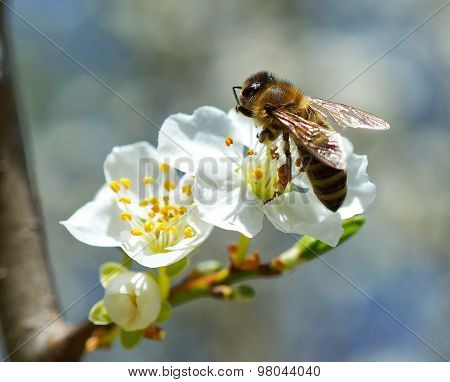 branch with flower of cherry tree and a honey bee