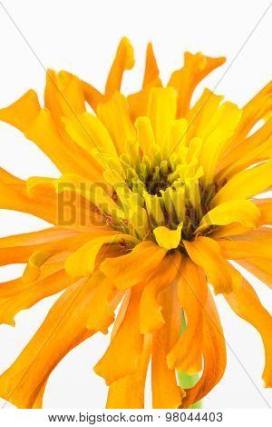 Close Up Of Zinnia Flower