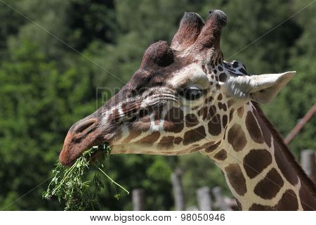 Reticulated giraffe (Giraffa camelopardalis reticulata), also known as the Somali giraffe. Wild life animal.