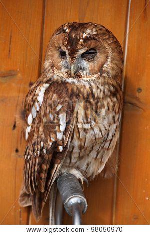Tawny owl (Strix aluco), also known as the brown owl. Wild life animal.